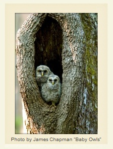 Baby Owls by James Chapman